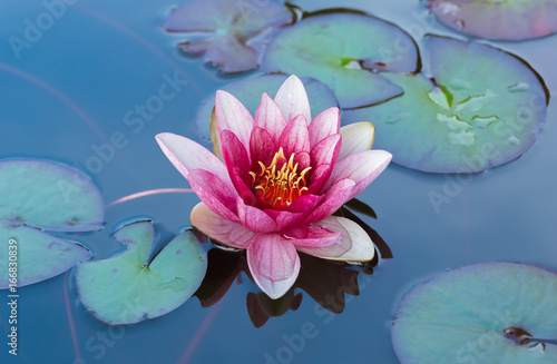 Poster de jardin Nénuphars Blossom pink water lily in a pond surrounded by green leaves