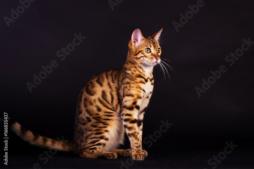 Portrait of bengal cat Canvas Print