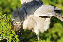 Black-crowned Night Heron Feeding Chick