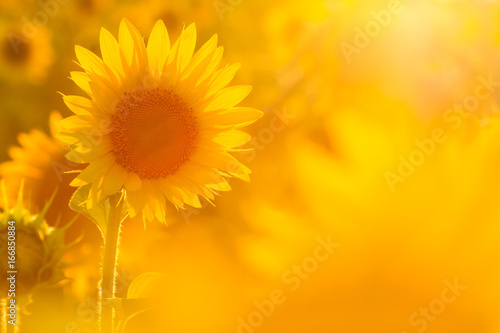 Cadres-photo bureau Tournesol Amazing beauty of sunflower field with bright sunlight on flower