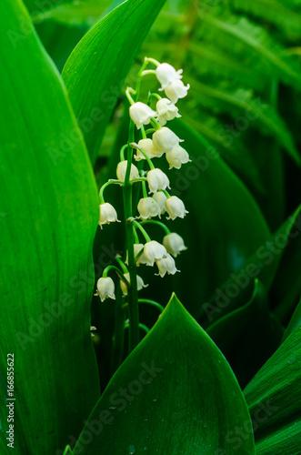 Deurstickers Lelietje van dalen Lily of the valley blossoming in garden
