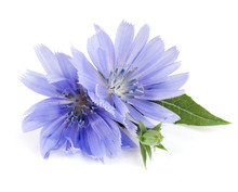 Chicory Flower With Leaf Isola...