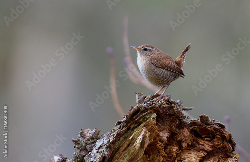 Wren in Sweden Fototapet