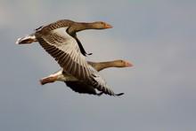 Grey Goose In Sweden