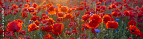 Canvas Prints Poppy Poppy meadow in the beautiful light of the evening sun