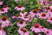 Purple Coneflowers With Bee, G...