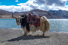 Yak At Pangong Lake In Ladakh,...