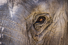 Eye Of Elephant In Close-up