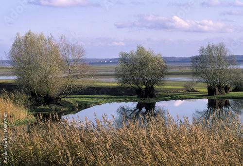 Saule cendré, Salix cinerea, lac du Der, Chantecoq, Haute Marne Canvas Print