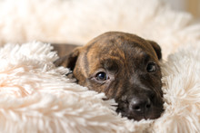 Mix Breed Brindle Puppy Canine Dog Lying Down On Soft White Blanket Looking Happy, Pampered, Hopeful, Sweet, Friendly, Cute, Adorable, Spoiled,