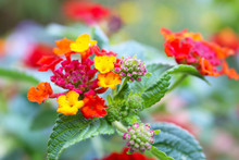 Closeup Of A Lantana Plant With Red And Yellow Flowers