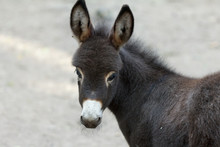 Donkey Is A Cute Young Donkey ...