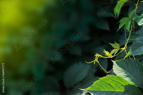 Fotografie, Obraz  Summer green ivy plant in the garden. Ivy background