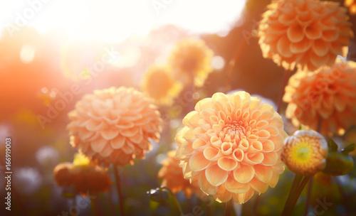 Poster de jardin Dahlia Wunderschöne Blumen im Sommer