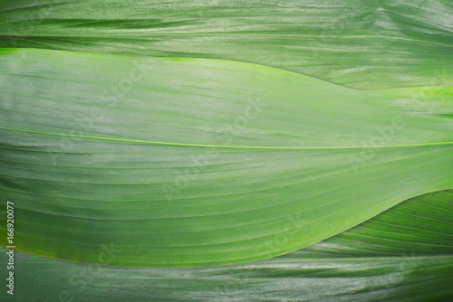 Green leaves, background Canvas-taulu