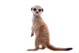 Fototapeta Zwierzęta - The meerkat or suricate cub, 2 month old, on white