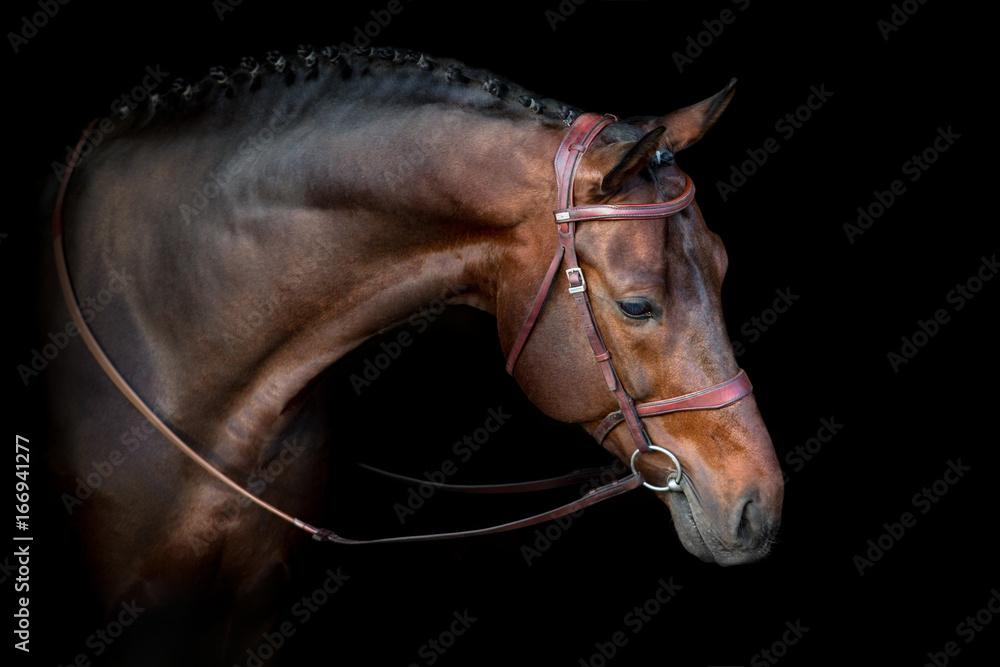 Fototapety, obrazy: Bay horse in bridle portrait on black background