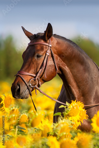 bay-horse-in-bridle-in-sunflowers