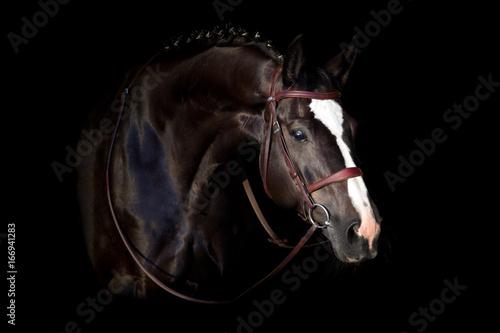 Black horse in bridle portrait on black background