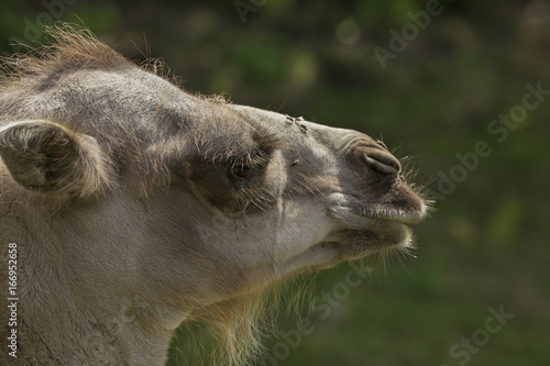 Recess Fitting Camel Kameel met veel vliegen op de neus.