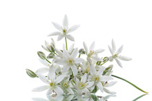 Ornithogalum Umbellatum .Beautiful White Flowers.