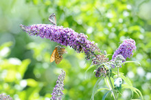Buddleja Davidii Flower With Butterfly.