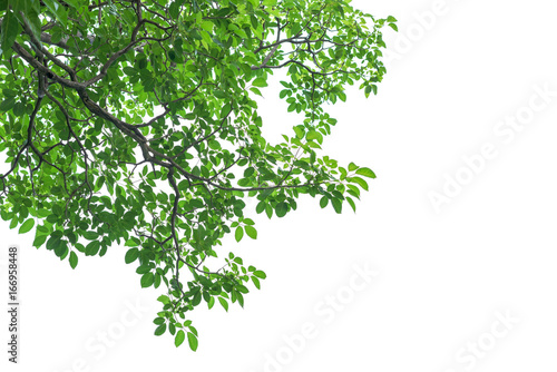 Green tree leaves and branches isolated on white background Tapéta, Fotótapéta