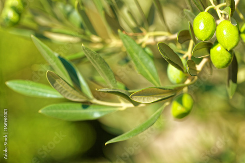 Keuken foto achterwand Olijfboom Green olives on a branch of olive tree - outdoors shot