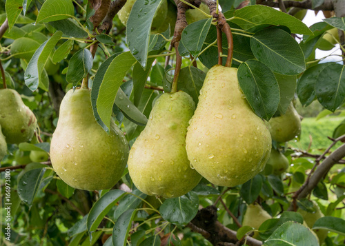 Three mature pears on the foreground plant.