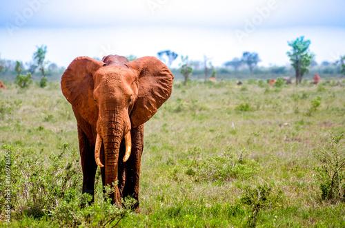 Fotobehang Olifant Elefant in Kenia