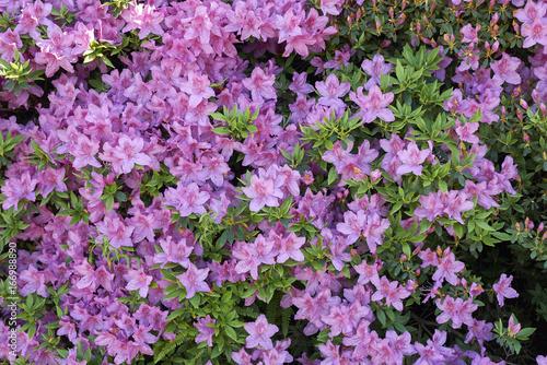 Plakat różowa azalia