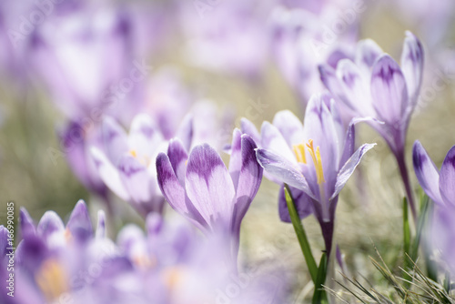 Photo sur Toile Crocus Beautiful violet crocus flowers growing on the dry grass, the first sign of spring. Seasonal easter background.