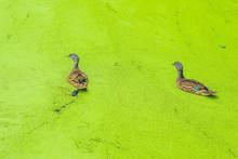 Mallard Duck Feeding On Duck Weed In A Green Overgrown Pond