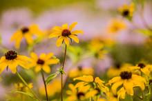Black Eyed Susan Sunflowers In...