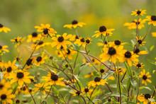 Yellow Black Eyed Susan Wildflowers In Summer