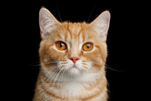 Close-up Portrait Of Red Munchkin Cat On Isolated Black Background, Front View