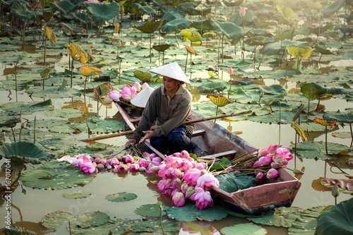 Agriculture is harvesting lotus in the swamp.