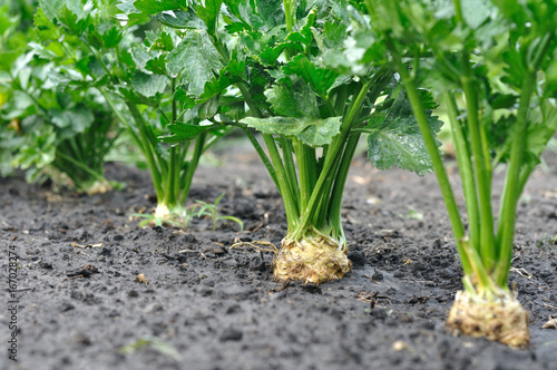 close-up of celery plantation (root vegetable) in the vegetable garden after   the watering
