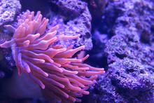 Macro Shoot Of Sea Anemone Ten...