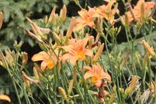 Orange Day Lily (Hemerocallis)...