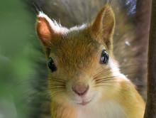 Detailed Close Up Portrait Of Squirrel