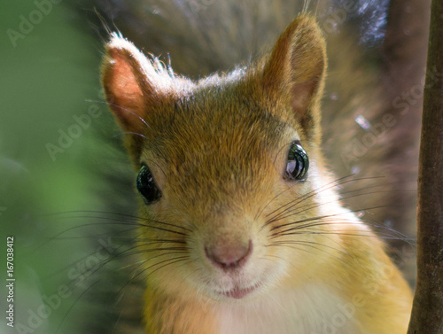Foto op Canvas Eekhoorn Detailed Close up Portrait of Squirrel