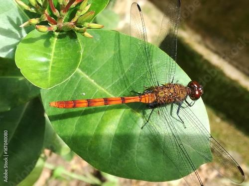 Photo libélula ó anisoptera