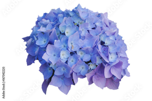 Wall Murals Hydrangea Flowers of blue hydrangeas, on white isolated background