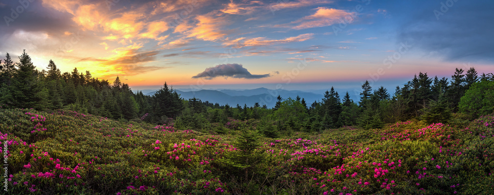 Fototapeta rhododendron field at sunrise, roan mountain state park, tennessee
