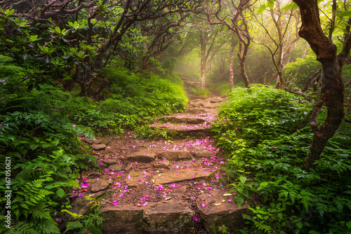 Photo sur Aluminium Jardin spent rhododendron blooms line the trail, blue ridge mountains, north carolina