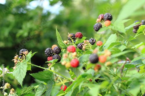 Valokuva blackberries plant background with fruits
