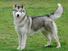 Portrait Of Beautiful Siberian Husky Dog.