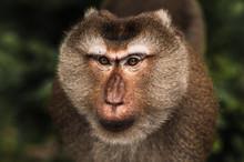 Portrait Of A Wild Monkey. A S...
