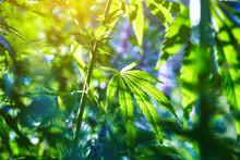 The Marijuana Plant Outdoors At Sunset
